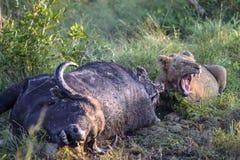 Młody Męski lwa karmienie na nieżywym bawolim ścierwie Zdjęcia Royalty Free