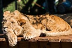 Młody męski lwa odpoczywać Zdjęcia Royalty Free