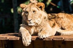 Młody męski lwa odpoczywać Obraz Stock