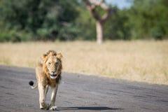 Młody męski lwa odprowadzenie na lądowisku Zdjęcie Stock