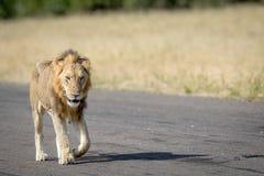 Młody męski lwa odprowadzenie na lądowisku Zdjęcia Stock