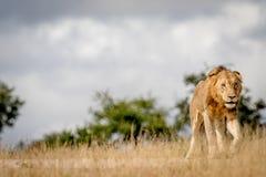 Młody męski lwa odprowadzenie w Kruger Obraz Stock