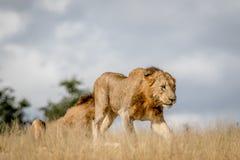 Młody męski lwa odprowadzenie w Kruger Fotografia Stock