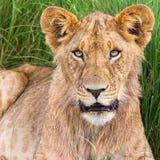 Młody męski lwa portret Zdjęcie Royalty Free