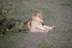 Młody męski lwa portret, Serengeti, Tanzania Obrazy Royalty Free
