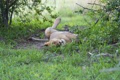 Młody męski lwa relaksować Zdjęcia Royalty Free