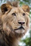 Młody męski lwa zakończenie w górę portreta, Południowa Afryka Zdjęcia Royalty Free