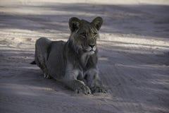 Młody męski lwa ziewanie przy Kgalagadi parkiem narodowym Obrazy Royalty Free