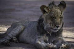 Młody męski lwa ziewanie przy Kgalagadi parkiem narodowym Zdjęcie Stock