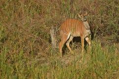 Młody męski nyala (Tragelaphus angasii) Zdjęcie Stock