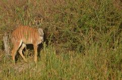 Młody męski nyala (Tragelaphus angasii) Zdjęcia Stock