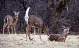 Młody męski rogacz podczas zima białego ogonu męskiej samiec Zdjęcia Stock