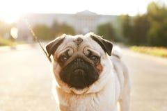 Młody mały trakenu pies z śmiesznymi brown i czarnymi plamami na twarzy Portret ślicznego szczęśliwego mopsa domowy doggy outdoor zdjęcie royalty free