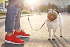 Młody mały trakenu pies z śmiesznymi brown i czarnymi plamami na twarzy Portret ślicznego szczęśliwego mopsa domowy doggy outdoor zdjęcia royalty free