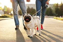 Młody mały trakenu pies z śmiesznymi brown i czarnymi plamami na twarzy Portret ślicznego szczęśliwego mopsa domowy doggy outdoor obrazy royalty free
