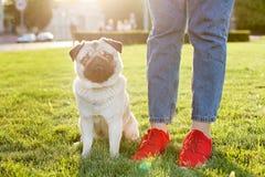 Młody mały trakenu pies z śmiesznymi brown i czarnymi plamami na twarzy Portret ślicznego szczęśliwego mopsa domowy doggy outdoor fotografia stock