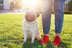 Młody mały trakenu pies z śmiesznymi brown i czarnymi plamami na twarzy Portret ślicznego szczęśliwego mopsa domowy doggy outdoor obrazy stock