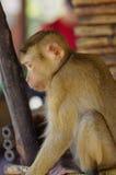 Młody macaca małpy obsiadanie na kamieniu bawić się z coś w jego ręki Obraz Stock