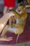 Młody macaca małpy obwieszenie na część ręka lub Kontakt z ludźmi zdjęcie stock