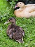 Młody Mallard i domowych kaczek łgarski puszek na trawie Zdjęcie Stock