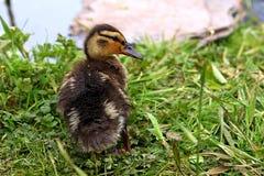 Młody mallard kaczątko w trawie obok wody obrazy royalty free