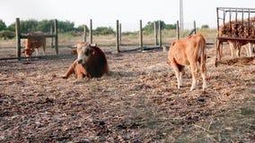 Młody Marinhoa brązu byk kłaść w dół i gapi się attentively przy kamerą podczas gdy młoda łydka pasa świeżego siano zdjęcie wideo