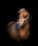 Młody minihorse źrebię Zdjęcia Royalty Free