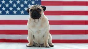 Młody mops z flaga amerykańską zdjęcie wideo