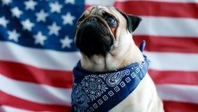 Młody mops z flaga amerykańską zbiory