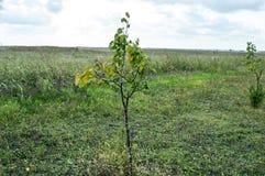 Młody Morelowy drzewo w łące Zdjęcia Stock