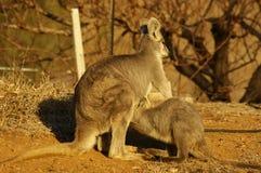 młody necked wallaby karmienie od it&-x27; s matka zdjęcia stock