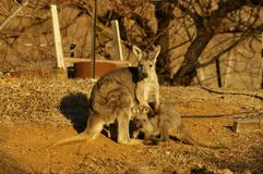 młody necked wallaby karmienie od it& x27; s matka zdjęcie royalty free