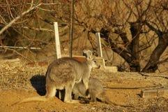 młody necked wallaby karmienie od it& x27; s matka obrazy stock