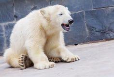 Młody niedźwiedź polarny siedzi Fotografia Stock
