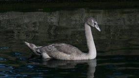 Młody niemego łabędź łabędziątko z popielatym upierzenia dopłynięciem na jeziorze w lecie obraz stock