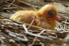 Młody, niepodejrzewający gołąb w gniazdeczku, zdjęcia royalty free