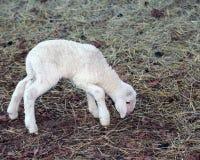 Młody nowonarodzony jagnięcy odprowadzenie z trudnością Fotografia Stock