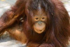 Młody orangutan zakończenie zdjęcie stock