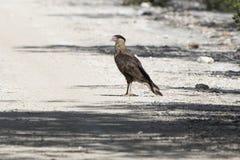 Młody północny czubaty caracara który stoi na drodze na br zdjęcie stock