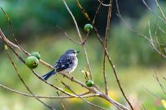 Młody Północny Mockingbird w Guava owocowym drzewie zdjęcia royalty free