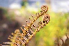 Młody paproci spirali liść na natury tle Obraz Stock
