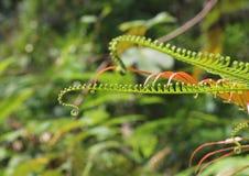 Młody paprociowy dorośnięcie w pełen wdzięku krzywie na dżungla śladzie w zwrotnikach Obraz Stock