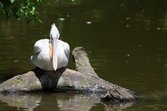 Młody pelikana obsiadanie na drzewie Obraz Stock