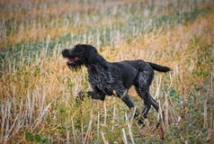 Młody, piękny, wątrobowy, czarny i biały cykający Niemiecki Wirehaired pointeru psa odprowadzenie na trawie, Drahthaar odrębnego obrazy royalty free