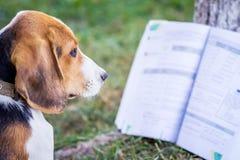 Młody pies traken Estoński ogar blisko otwartej książki Czytelnicze książki na nature_ zdjęcie royalty free