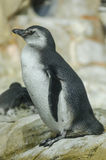 Młody pingwin przygotowywa zamaczać w wodzie Fotografia Royalty Free