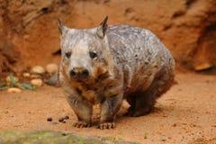 Młody Południowy Ostrożnie wprowadzać Wombat Zdjęcie Stock