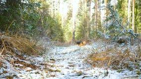Młody psi traken Airedale Terrier biega przez jesień lasu zakrywającego z cienką warstwą śnieg zbiory wideo