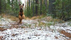 Młody psi traken Airedale Terrier biega przez jesień lasu zakrywającego z cienką warstwą śnieg zdjęcie wideo
