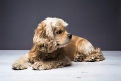 Młody purebred Cocker Spaniel na drewnianej podłoga Fotografia Royalty Free